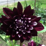 Dark purple dahlia Farmers Market 2014